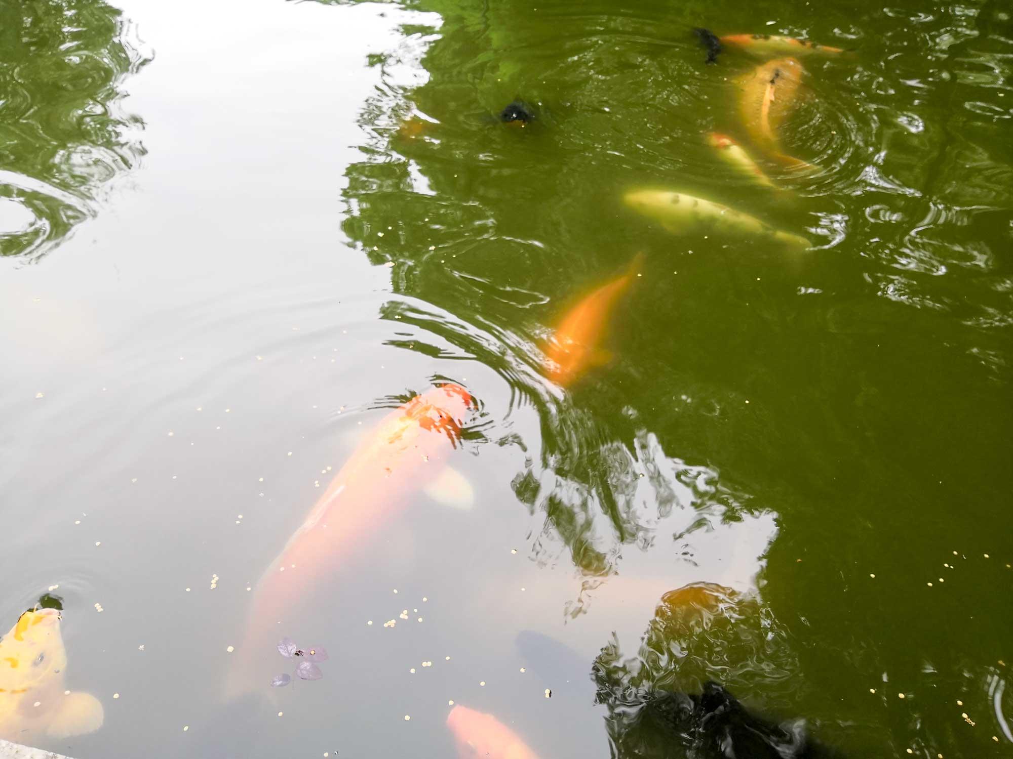 红鲤鱼与绿鲤鱼与驴